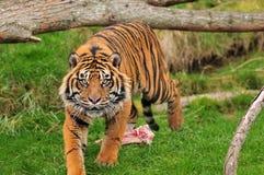 głodny tygrys fotografia stock