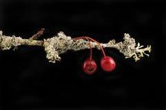 Głogowa gałązka z jagodami zakrywać w liszaju przeciw czerni zdjęcia stock