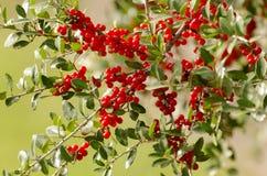 Głogowe jagody na gałąź Zdjęcia Royalty Free