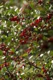 Głogowe jagody na gałąź Obraz Royalty Free