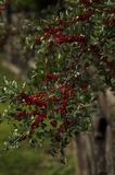 Głogowe jagody na gałąź Zdjęcie Royalty Free