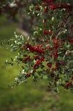 Głogowe jagody na gałąź Obraz Stock