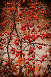 Głogowe jagody w naturze Obrazy Stock