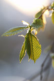głogowy liści, obraz stock