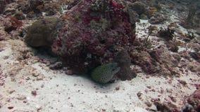 Głowa łaciasty mureny zbliżenie na tła koralowy podwodnym w morzu Maldives zbiory wideo