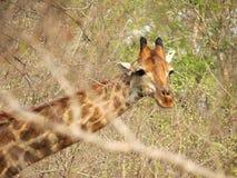 Głowa żyrafa Zdjęcia Stock