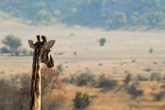 Głowa żyrafa przed sawanną Obraz Stock
