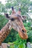 Głowa żyrafa w zoo. Zdjęcia Royalty Free