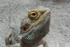 Głowa Agame pogona vitticeps zakończenie Zdjęcia Royalty Free