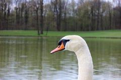 Głowa biały łabędź w parku Zdjęcia Royalty Free