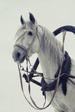 Głowa biały koń w nicielnicie na białym tle Fotografia Stock