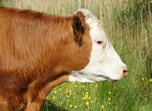 Głowa Brown i Biała krowa Zdjęcia Royalty Free