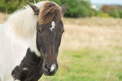 Głowa brown i biały koń w polu obrazy stock
