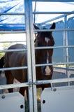 Głowa brown koń Fotografia Royalty Free