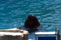 Głowa Czarny delfin zdjęcie royalty free