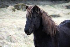 Głowa czarny Islandzki koń Fotografia Stock