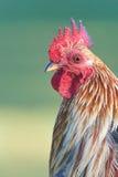 Głowa Czerwonej dżungli ptactwo Zdjęcie Stock