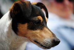 Głowa dźwigarki Russel pies fotografia stock