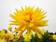 Głowa dalia w ogródzie w lato słonecznym dniu obraz stock