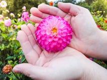 Głowa dalia w rękach, w ogródzie w lato słonecznym dniu obrazy royalty free