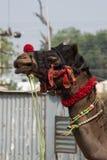 Głowa dekorujący Indiański wielbłąd Obraz Stock