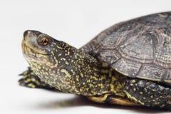Głowa Europejczyka stawu żółw fotografia royalty free