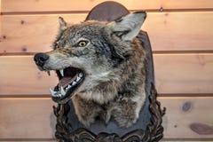 Głowa faszerujący wilk na drewnianej ścianie Ogołacający usta obraz stock