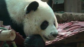 Głowa gigantycznej pandy zbliżenie Chiang Mai, Tajlandia zbiory wideo