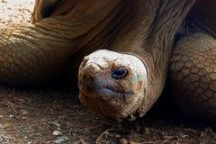 Głowa gigantyczny żółw Zdjęcie Royalty Free