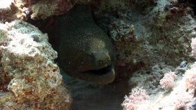 Głowa gigantyczny murena węgorz w Czerwonym morzu Egipt zbiory