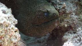 Głowa gigantyczny murena węgorz w Czerwonym morzu Egipt zdjęcie wideo