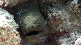 Głowa gigantyczny murena węgorz w Czerwonym morzu Egipt zbiory wideo