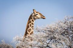 Głowa Giraphe łasowanie od drzewa w Etosha parku narodowym w Namibia, Afryka Zdjęcia Royalty Free