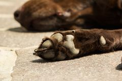 Głowa i łapa stary brown Labrador Retriever Zdjęcia Stock