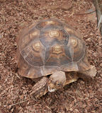 Głowa i skorupa afrykanin Pobudzaliśmy Tortoise Fotografia Royalty Free