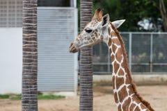 Głowa i szyja strzelający żyrafa Obraz Royalty Free