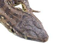 Głowa jaszczurki Lacerta agilis na białym tle Obrazy Stock