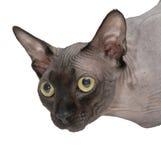 Głowa Kanadyjski Sphynx kota zakończenie na białym tle obrazy stock