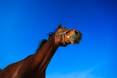 Głowa koń Zdjęcie Royalty Free