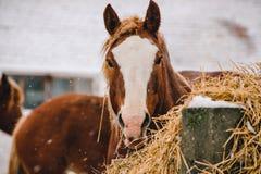 Głowa koń sianem Obrazy Royalty Free