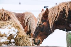 Głowa koń sianem Fotografia Royalty Free