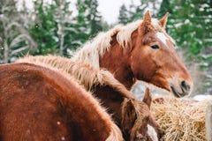 Głowa koń sianem Obraz Stock