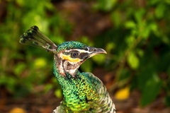 Głowa kolorowy pawi ptak wśród tropikalnej roślinności Zdjęcie Royalty Free