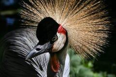 Głowa koronowany żuraw zdjęcie royalty free