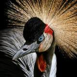 Głowa Koronowany żuraw obrazy stock