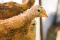 Głowa kurczaka zakończenie Fotografia Stock