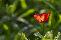 Głowa kwitnący czerwony anemon w backlight bocznym widoku na zamazanym tle zdjęcie royalty free