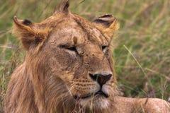 Głowa młody lew Kenja Fotografia Stock