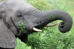 Głowa młody męski Afrykańskiego słonia karmienie na akaci, Zdjęcie Royalty Free