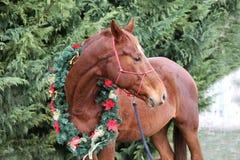 Głowa młody thoroughbred koń z boże narodzenie dekoracjami obrazy royalty free